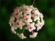 wax plant hoya carnosa - indoor climbing plant