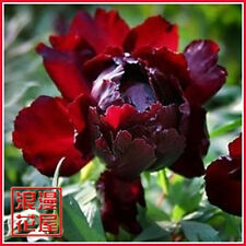 Queen Black Red Flower China's Peony Seeds Paeonia suffruticosa Tree DIY Garden