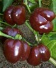 """MINI 2"""" CHOCOLATE BROWN BABY BELL SWEET PEPPER 20  PROFESSIONAL SEEDS ORGANIC"""