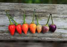 Organic Heirloom 200 Seeds Bolivian Rainbow Chilli Chili Vegetable Hot Pepper