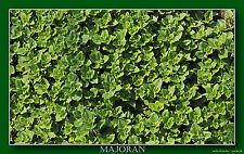 500 Samen Majoran - Origanum majorana Heilpflanze Küchenkräuter Saatgut 01420