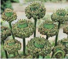 Organic Hens & Chicks Poppy Flower Seeds Papaver Somniferum Seeds 300+ Seeds
