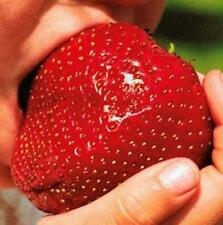 Wholesale 150Giant Strawberry Seeds Amazing Excellent High in Vitamin Fruit HL