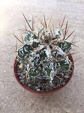 Astrophytum Hannya Dinosaur no ariocarpus copiapoa aztekium cactus kakteen