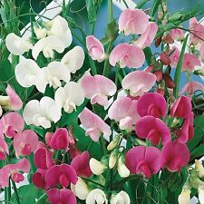 0.5g (approx. 9) perennial sweet pea seeds LATHYRUS LATIFOLIUS very decorative