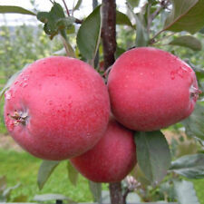 Live APPLE Plant, ''Malus domestica'' (In Poly Pot), Approx 12inch
