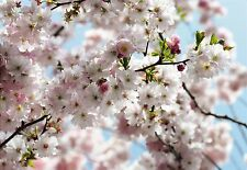 SPRING CHERRY BLOSSOM Photo Wallpaper Wall Mural NATIONAL GEOGRAPHIC NATURE