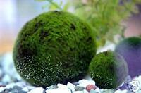 Giant Marimo Ball - Aquatic.Magic Live Aquarium Plant