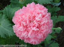 200 Poppy Flower Seeds. Pink Skyline. Peony Poppies. Papaver Paeoniflorum. #46