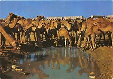 BF39554 beer sheva israel  camel chameau  animal animaux