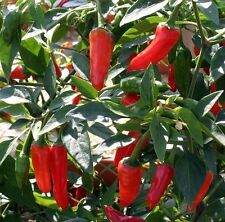Kings Seeds - Pepper (Chilli) Apache F1 - 10 Seeds
