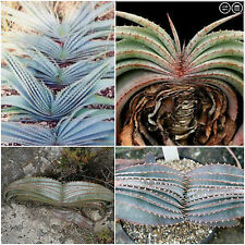 10 seeds of aloe suprafoliata, succulents, cacti, succulents seed R