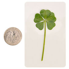 Rare 5 Five Four Leaf Clover Irish Good Luck Charms Lucky Amulet Fortune Coated