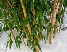 "3 Feet ""Gold""  VIVAX  Giant Bamboo  'Aureocaulis' Random green stripes -Bar Code"