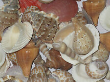 Aquarium & Home Decorate Seep Shank Conch Shells Reef sankh stone pebble 500grms