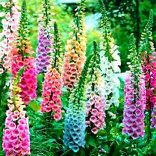 Beautiful Mixed Foxglove 100 Seeds! Comb. S/H!  BE SURE TO SEE OUR STORE !