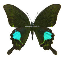 Unmounted Butterfly/Papilionidae - Papilio paris paris, male, China, A-