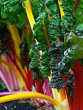 100+ Swiss Chard Seeds- Rainbow Mix- 2015 Seeds    $1.69 Max. Shipping!!