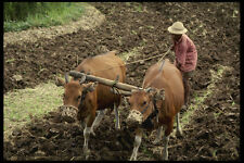 202012 Plowing A Field With Two Balinese Deer A4 Photo Print