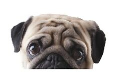 Funny Cute Pet PUG Dog Peeper Peeping Peeking Sad Eyes vinyl car sticker Decal