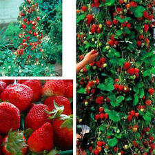 100X Giant Sweet Strawberry Seeds Garden Perennial Fruit Plants Seed Pot Culture