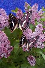 MADE IN SCOTLAND PURPLE EMPEROR BUTTERFLY POSTCARD [FREE POSTAGE]
