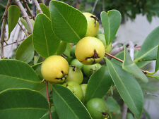 Sartre Guava (Arrayan) Tropical Fruit Trees