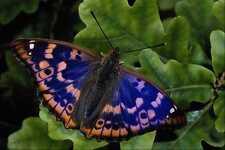 432063 Lesser Purple Emperor Apatura Ilia A4 Photo Print