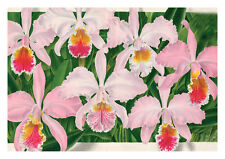 Cattleya Mossiae Hook by Jean Linden Orchids A4 Art Print