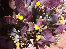 "Purple Prickly Pear Cactus (Opuntia Violacea) Five 3""-5"" Pads (Cuttings)"