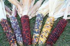 INDIAN CORN - 3 Multi Colored Ears - Fall Autumn Decrative Ornamental