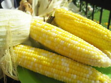 """Sweet Corn Seeds - BUTTER & SUGAR -  8"""" Bi-Color Cobs - theseedhouse - 50 Seeds"""