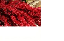 Amaranth, Red Garnet 320+ Fresh Hand Packaged Seeds