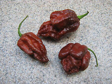 Brazilian Ghost Pepper 5 semi PEPERONCINO CHILI semi