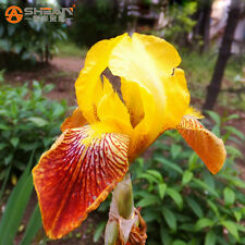 100 Seeds Iris Orchid Potted Plants Flowers Seeds DIY Home rose Garden