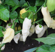 White Ghost pepper. 30+ seeds. Organically grown.