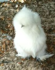 4 + Silkie Hatching Eggs NPIP