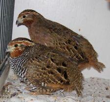 6 Jungle bush quail hatching eggs for sale RARE BREED!   Pheasant chukar fowl