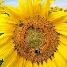 50 SUNFLOWER MAMMOTH Giant Seeds Flower Garden