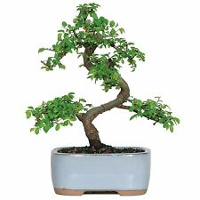 Chinese Elm Bonsai Tree and Pot, Free Shipping