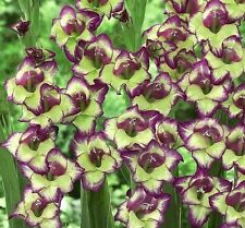"""(25) Perennials """"Deluxe Gladious Flowering Mix""""  New Flower Bulbs Ready to Ship"""