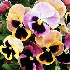 SEEDS FLOWER SEEDS PANSY F1 SUPER MAJESTIC GIANTS  MIXED !GERMINATION ROOT PLUGS