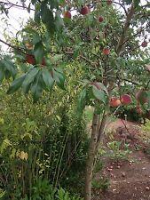 Frostfester Pfirsichbaum für´s Freiland  2 Stecklinge + Bewurzelungs-Pulver Deko