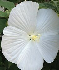 15+ WHITE DINNER PLATE HIBISCUS FLOWER SEED / HUGE 10-12 INCH FLOWERS/PERENNIAL