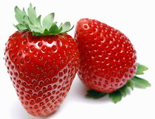 Eversweet Everbearing Strawberry 25 Bare Root Plants - Super Sweet
