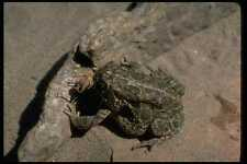 416075 Great Plains Toad Eating An Insect A4 Photo Print