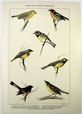Birds: American Wood Warblers: Original 1902 Dated Stone Chromo-Lithograph