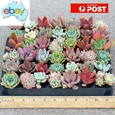 300+ MIXED ECHEVERIA SUCCULENT SEEDS