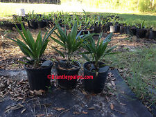 Trachycarpus fortunei windmill/chusan palm cold hardy palm free shipping