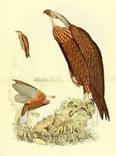 PAINTING ANIMAL BIRD POLLEN VAN DAM MADAGASCAN FISH EAGLE ART PRINT LAH423A